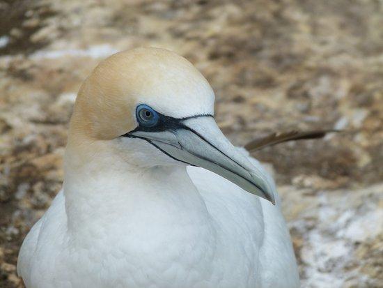 Muriwai Beach, نيوزيلندا: Gannet - up close