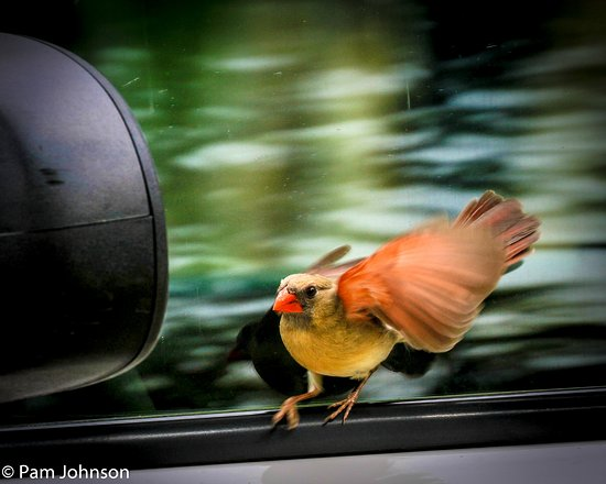 Cardinal playing in the mirror - Picture of South Llano
