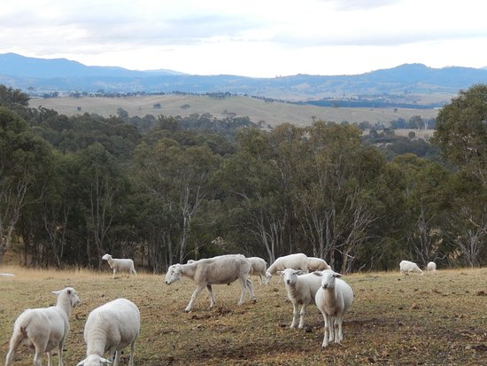 Candelo, Australien: Sheep with a view