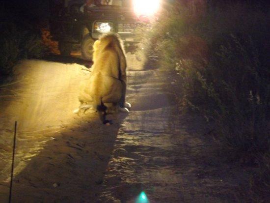 Tangala Safari Camp: lion business