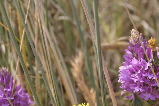 Borth, UK: Wild orchids abound in the dunes at Ynylas
