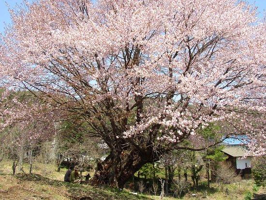 Katashina-mura, Japon : 樹齢300年以上の天王桜!4月下旬~5月上旬が見頃