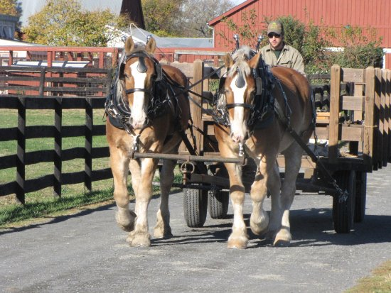 Herndon, VA: Belgian draft horses, Jeff and Charlie, pull an antique wagon for a demo.