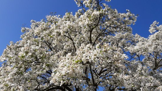 An Beautiful Old Grand Magnolia Tree In Full Bloom Picture Of