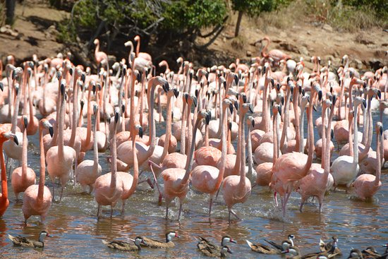 North Sound, Virgen Gorda: Lunch time for the Flamingos.