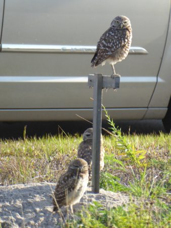 Cape Coral Farmers Market: Burrowing owls