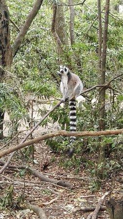 Monkeyland Primate Sanctuary: Ring-tailed lemur