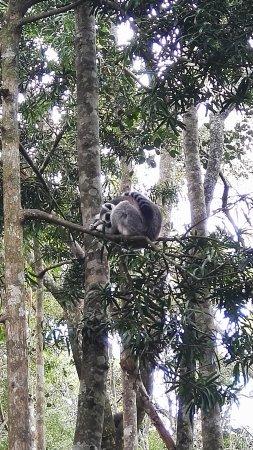 Monkeyland Primate Sanctuary: Ring-tailed lemur sleeping