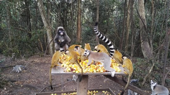 Monkeyland Primate Sanctuary: Eating all the food!