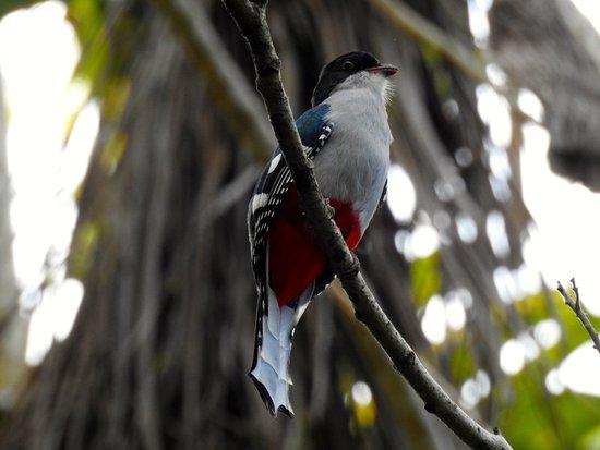 Whitehawk Birding and Conservation-Day Tours: Cuban Trogan