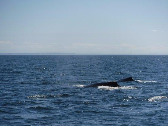 Edmonds, WA: humpback whale