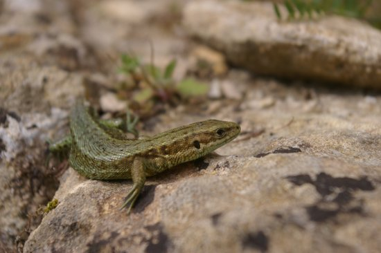Yanworth, UK: Common Lizard