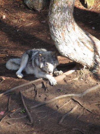 Montebello, Канада: Submissive Wolf