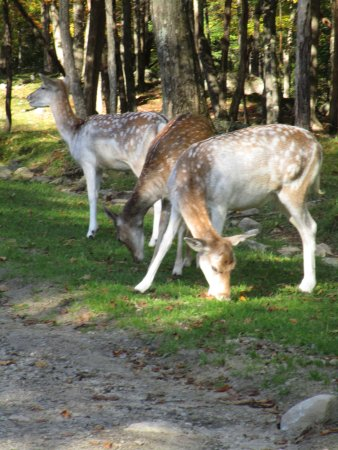 Montebello, Канада: Beatutiful Sitka Deer