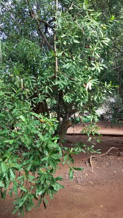 Hoolehua, HI: One of the macadamia nut trees on the farm
