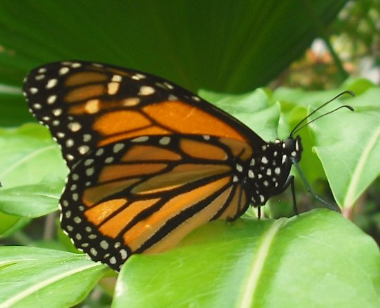 Monarch u s central and south america picture of dow - Dow gardens butterfly house 2017 ...