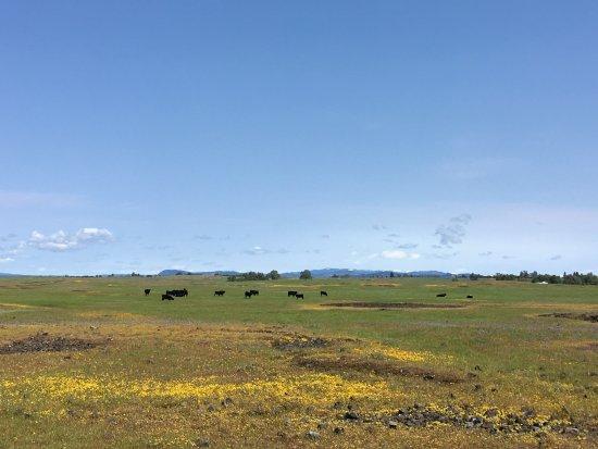 Oroville, كاليفورنيا: Free roaming cows!