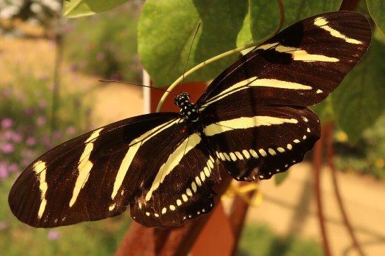 Exposition Park: Zebra butterfly