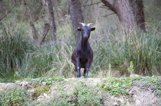 Giarratana, Italia: Una capretta nera