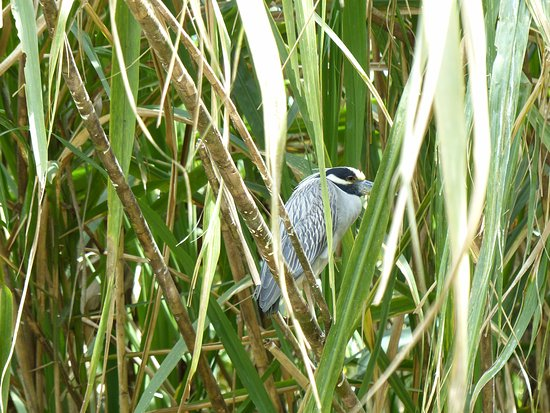Tortuguero Wildlife Tour: adult Yellow-crowned Night Heron -Tortuguero Canal Costa Rica