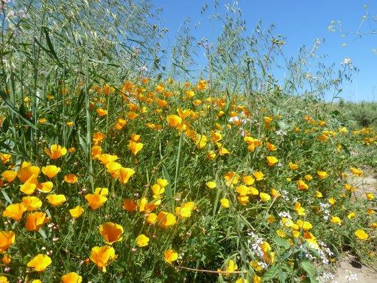 Chino Hills, CA: Small Field of Poppies