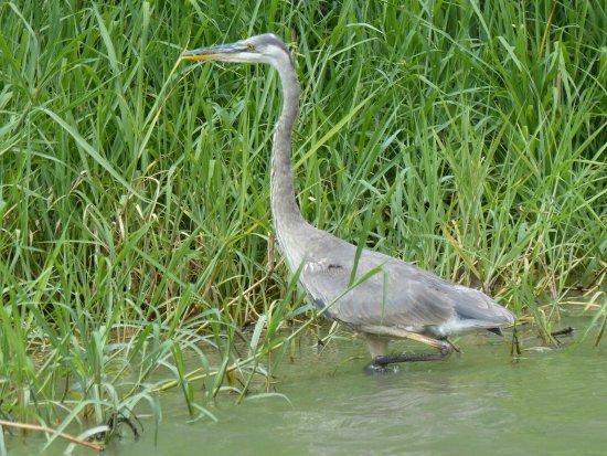 Tortuguero Wildlife Tour: juv Great Blue Heron-Tortuguero Canal Costa Rica