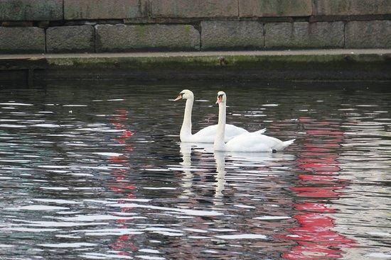 Arendal, Νορβηγία: Beautiful swans in the neighbourhood