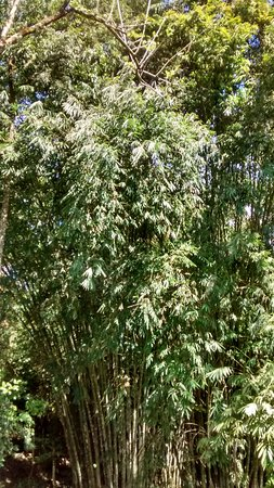 Chachagua, Costa Rica: Amazing bamboo forest