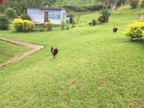 Suva, Fidżi: chickens running everywhere.. so peaceful