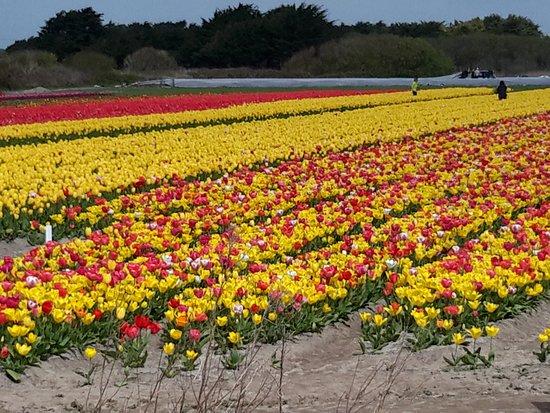 tulipe plomeur