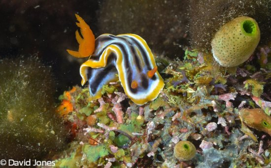 Action Divers: Nudibranch