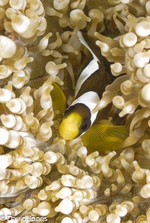 Action Divers: Juvenille Clownfish
