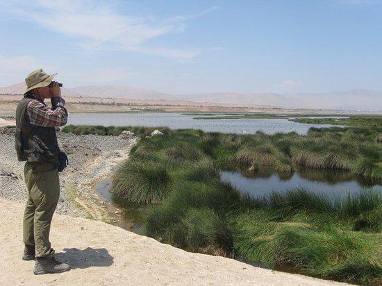 Tacna Region, Peru: los humedales de ite en Tacna, es el lugar ideal, para los amantes de la observación de aves,