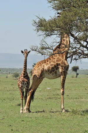 Porini Mara Camp: Bébé girafe dans la savane