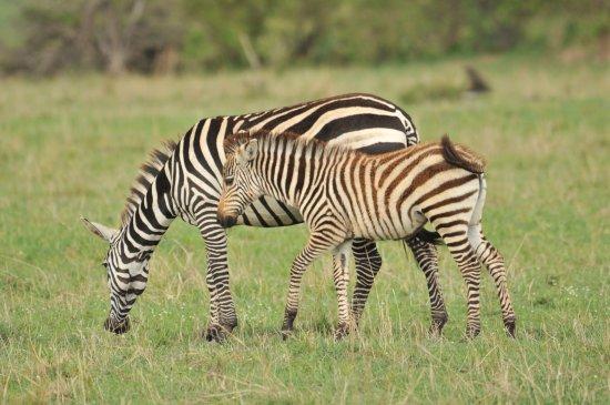 Porini Mara Camp: Une maman zèbre et son petit