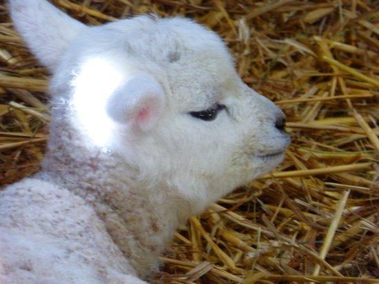 Раглан, UK: young lambs