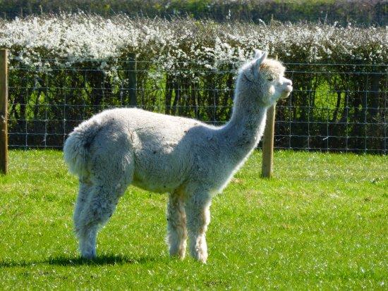 Раглан, UK: Alpaca