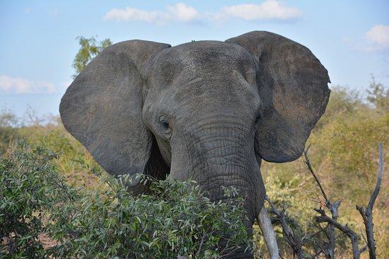 Timbavati Private Nature Reserve, Republika Południowej Afryki: Kambaku elephant