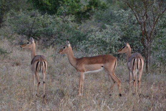Timbavati Private Nature Reserve, แอฟริกาใต้: Kambaku impala