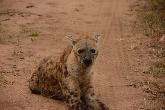 Timbavati Private Nature Reserve, แอฟริกาใต้: Kambaku hyena