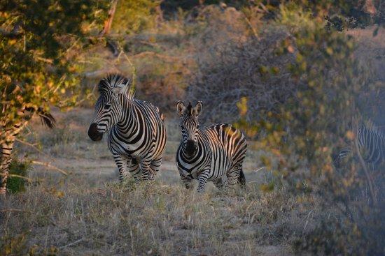 Timbavati Private Nature Reserve, แอฟริกาใต้: Kambaku zebras