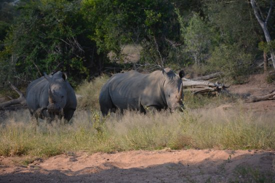 Timbavati Private Nature Reserve, แอฟริกาใต้: Kambaku rhinos