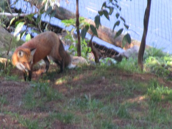 Parque Gatineau: Red fox
