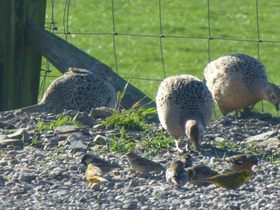 Whithorn, UK: Femail pheasants viewed from the visitors lounge.