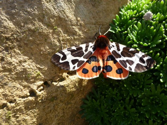Whithorn, UK: Garden Tiger moth (stunning colours) was in the rockery in the front garden