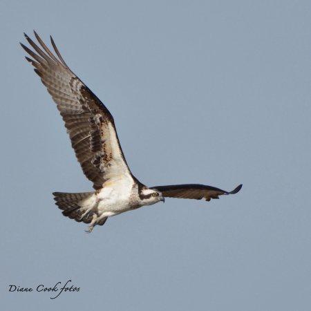 Oceanville, NJ: Osprey