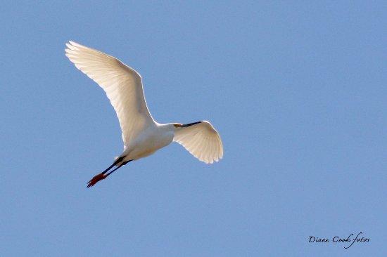 Oceanville, Nueva Jersey: Snowy Egret