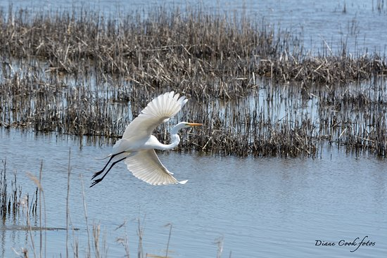 Oceanville, NJ: Great Egret