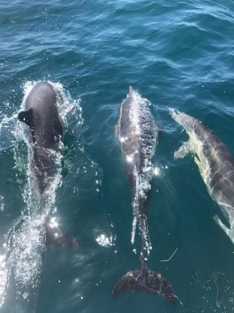 Dana Point, CA: Common Dolphins