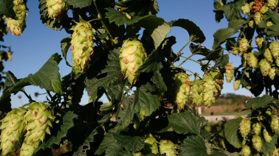 Verona, WI: Hops growing at The Hop Garden